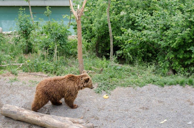 棕熊(熊属类arctos)在伯尔尼动物园里  免版税库存照片