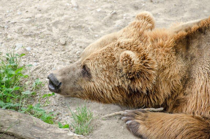 棕熊(熊属类arctos)在伯尔尼动物园里  库存照片