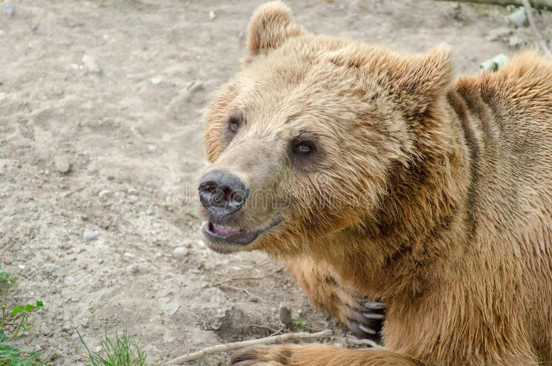 棕熊(熊属类arctos)在伯尔尼动物园里  免版税库存图片