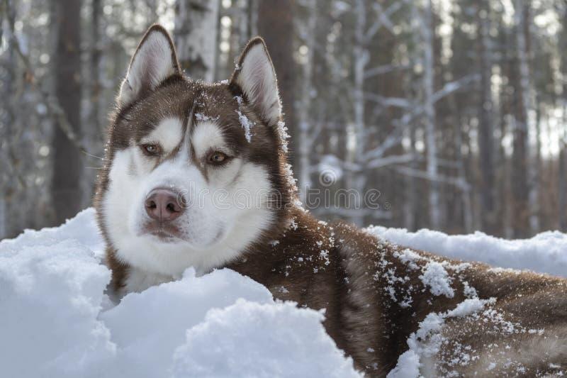 棕色西伯利亚爱斯基摩人狗画象在白雪背景的在黑暗的冬天森林里 库存图片