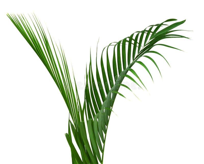 椰子叶子或椰子叶状体,绿色plam在白色背景离开,被隔绝的热带叶子与裁减路线 植物学,克洛 免版税库存图片