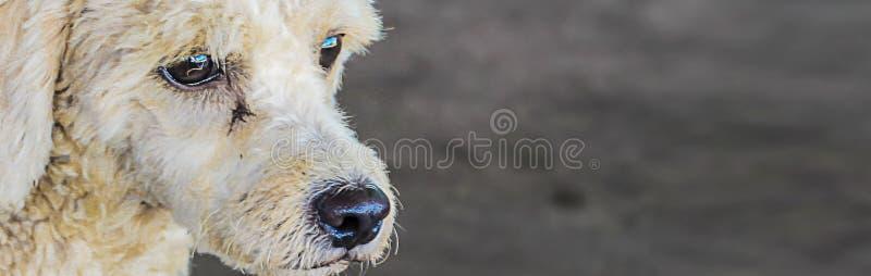 横幅大小,白色长卷毛狗品种狗做等待哀伤的面孔吃 免版税图库摄影