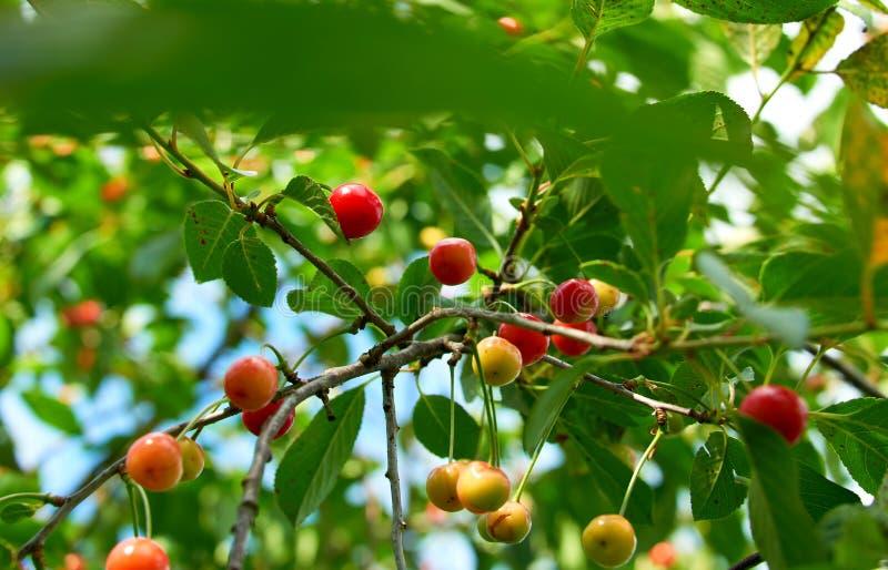 樱桃红结构树 免版税库存图片