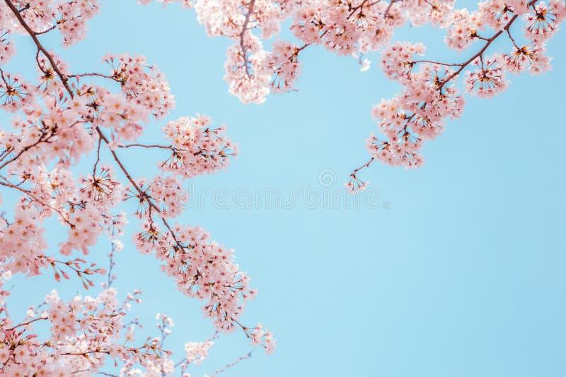 樱花有天空背景 免版税库存照片
