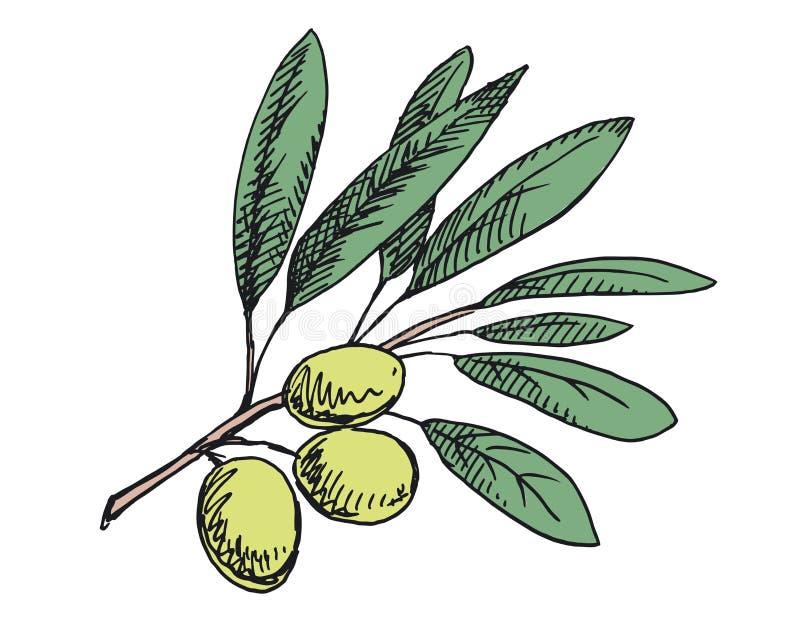 橄榄树枝例证 色的版本 库存照片