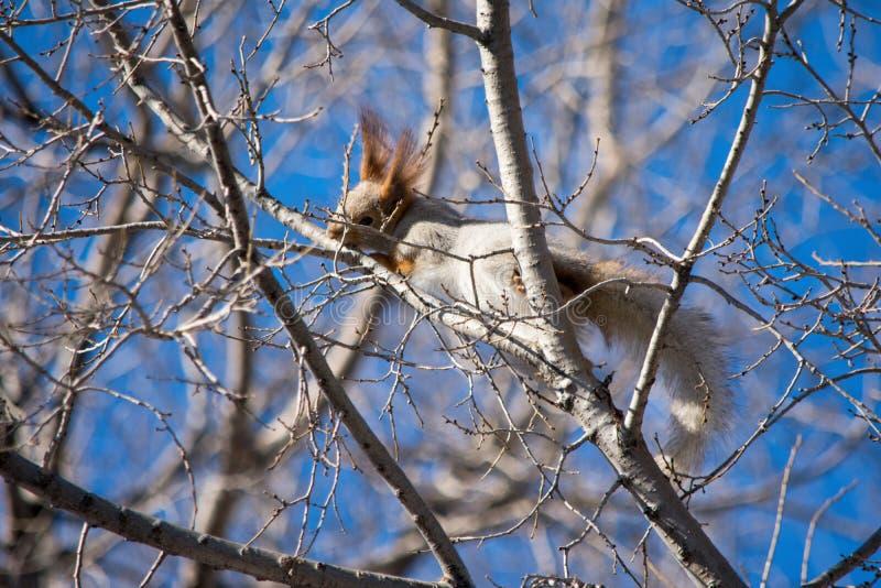 欧亚红松鼠垂悬在分支的和果皮吠声和断裂分支 春天的准备 图库摄影