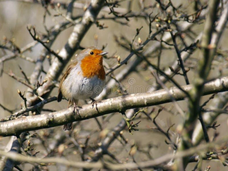 欧洲人罗宾,画眉Rubecula,-知更鸟在春天阳光下 免版税图库摄影