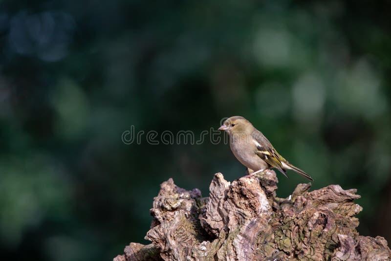 欧洲人Greenfinch,在老木头的虎尾草属虎尾草属 图库摄影