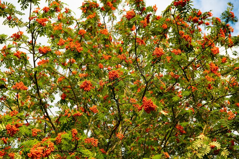 欧洲欧洲花楸-山梨aucuparia -与许多成熟橙红莓果 免版税库存照片