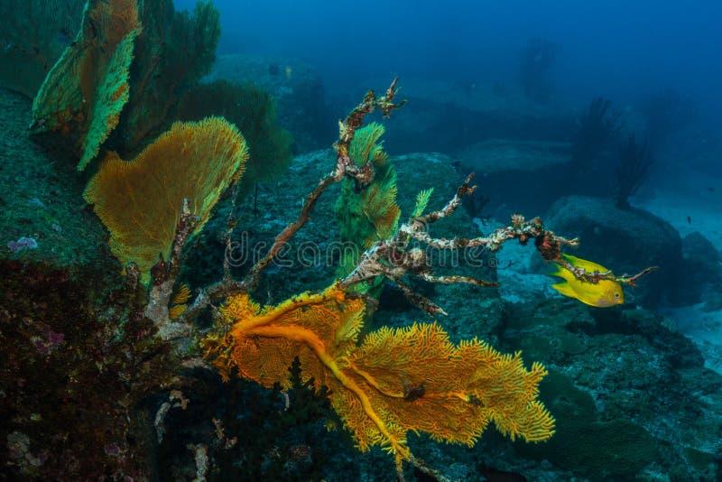 死的gorgonian珊瑚海爱好者由于全球性变暖和气候变化 免版税图库摄影