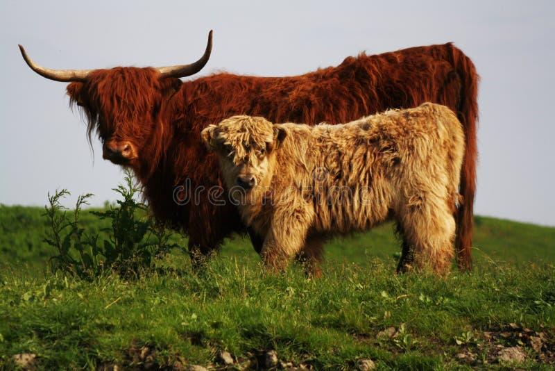 母亲和儿童高地居民,野生母牛Potrait在欧洲 免版税库存图片