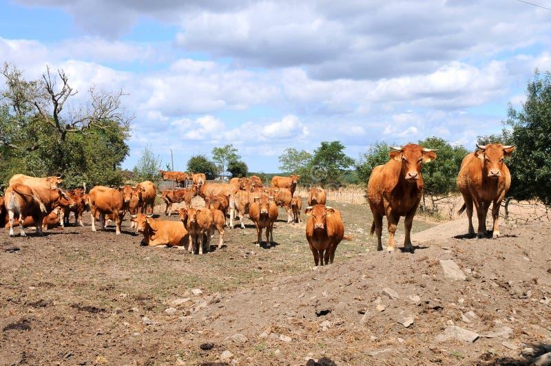 母牛和小牛在牧场地 库存照片