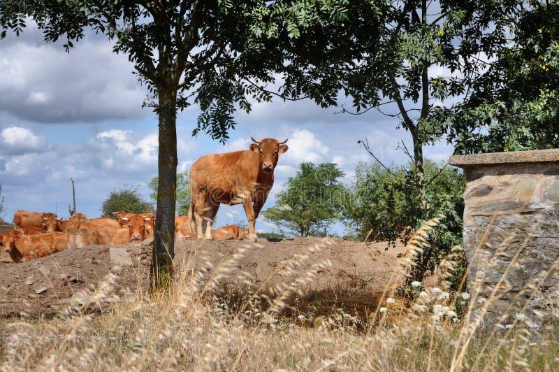 母牛和小牛在牧场地 库存图片