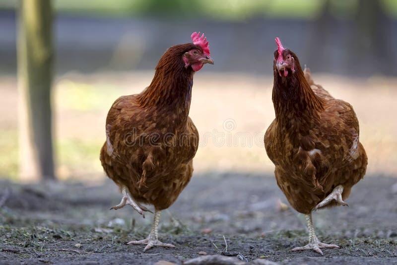 母鸡在草甸 免版税库存图片