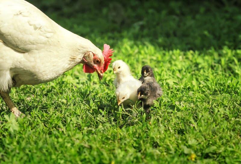 母鸡和小的鸡,黄色,黑和红色步行在豪华的绿草在农场在一个晴朗的春日 库存照片