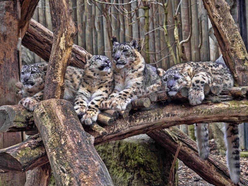 母雪豹,Uncia盎司,与subadult小鸡 库存照片