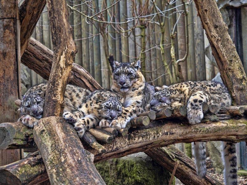 母雪豹,Uncia盎司,与subadult小鸡 库存图片