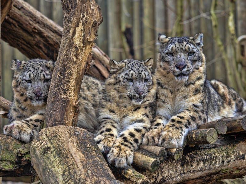 母雪豹,Uncia盎司,与subadult小鸡 免版税库存图片