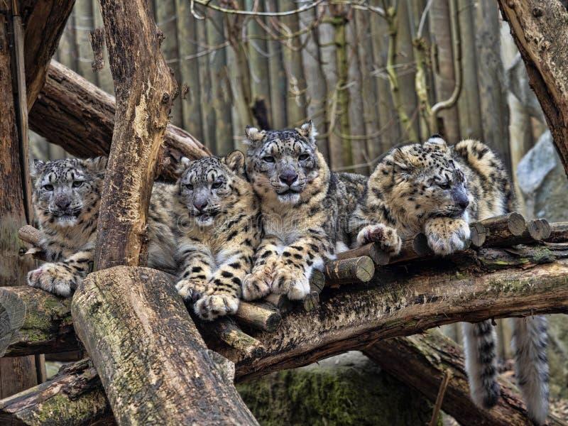 母雪豹,Uncia盎司,与subadult小鸡 免版税库存照片