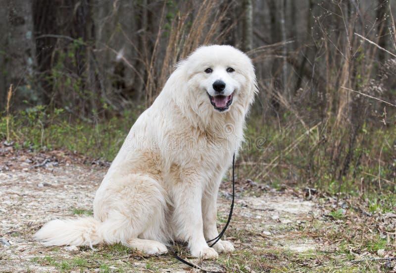 毛茸的白色大比利牛斯狗外面在皮带 图库摄影