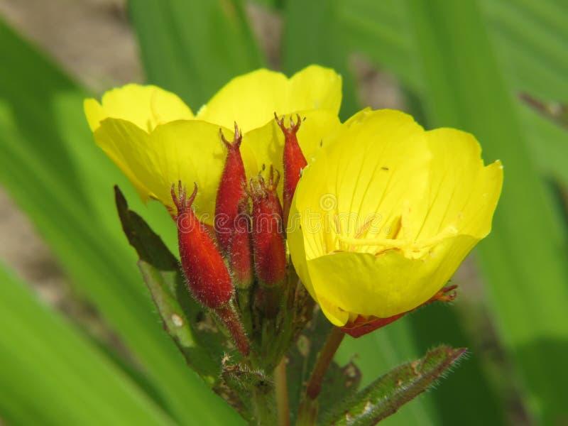 毛蕊花thapsus -一棵奔忙的植物更2米高和 库存照片