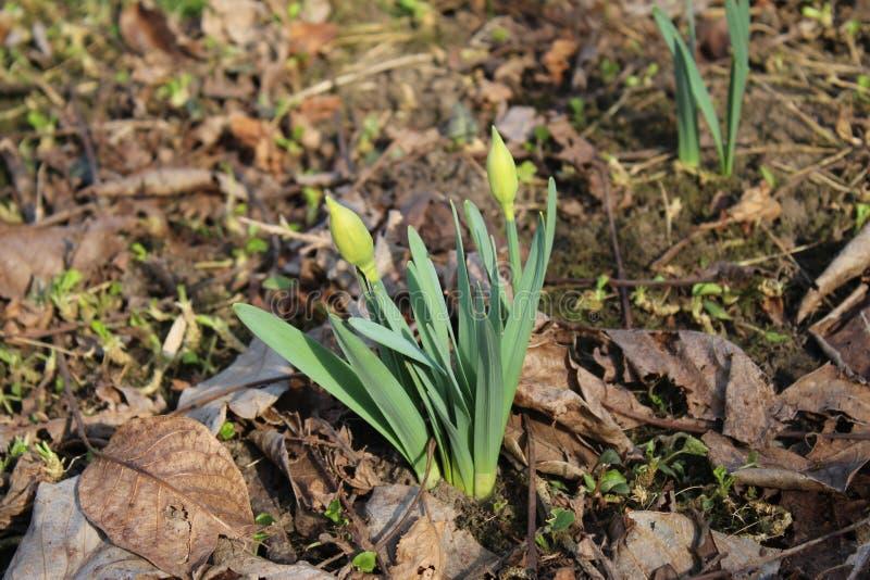 水仙,黄水仙绿色芽在庭院里 免版税库存照片
