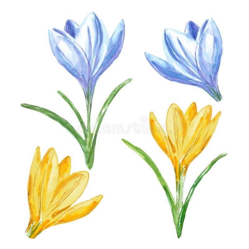 水彩春天番红花集合,隔绝在白色背景 手画五颜六色的黄色和蓝色番红花花 库存例证