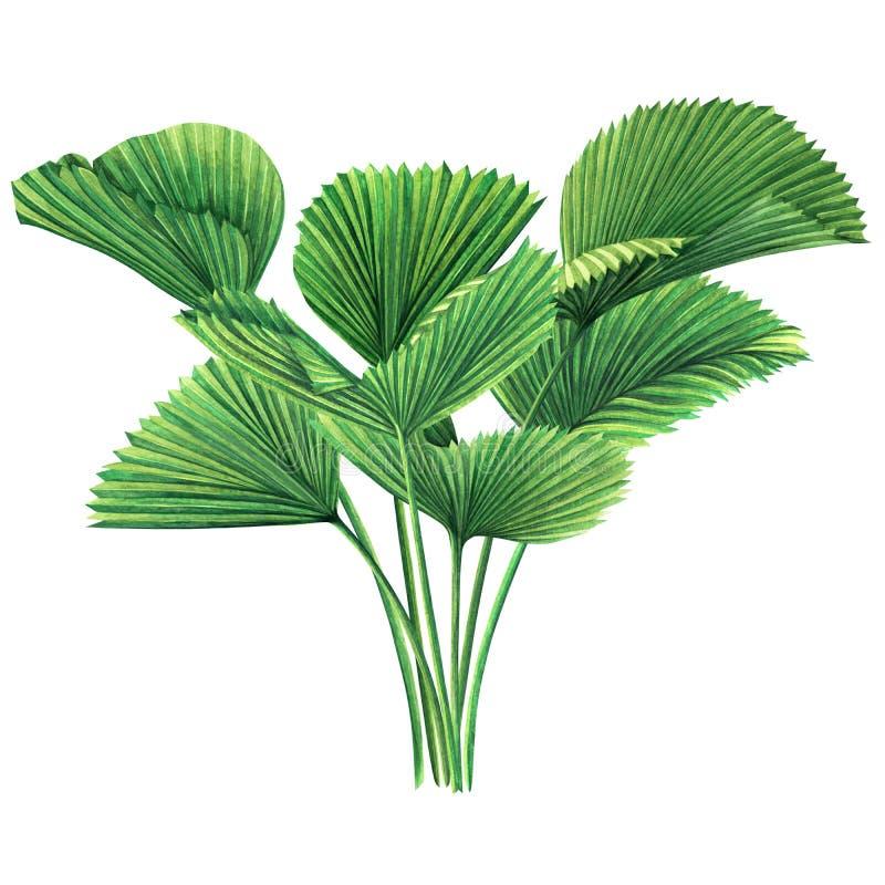 水彩绘画树椰子,在白色背景隔绝的棕榈叶,绿色叶子 水彩手拉的例证热带e 皇族释放例证