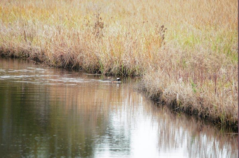 沿林荫道路沼泽水的两条秋沙鸭鸭子鱼 库存图片