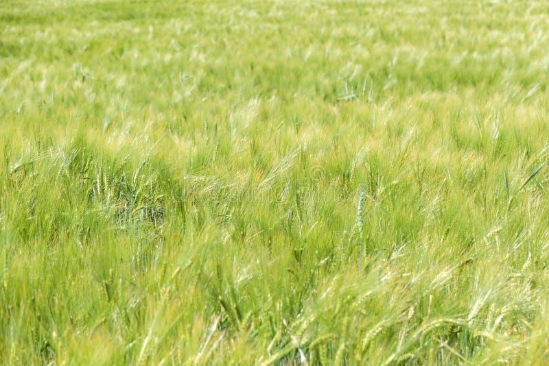 波浪谷物草甸在波兰 绿色背景 免版税库存图片