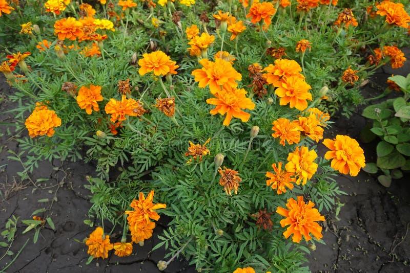 法国万寿菊明亮的橙色花  免版税库存照片