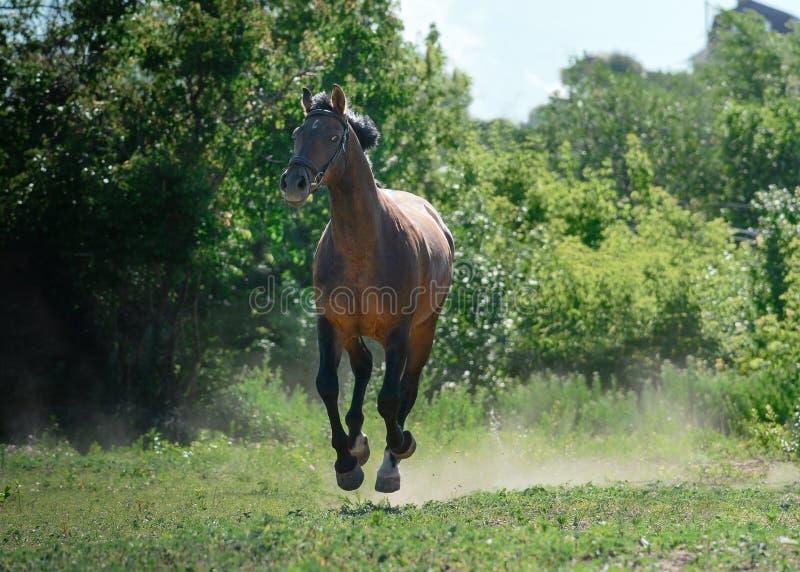 海湾体育马在夏天跑在自由的疾驰 免版税图库摄影