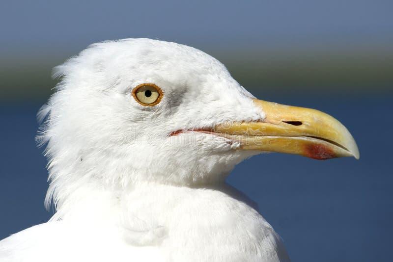 海鸥画象-怒视的眼睛-可疑,玩事不恭或者Fliratious 库存照片
