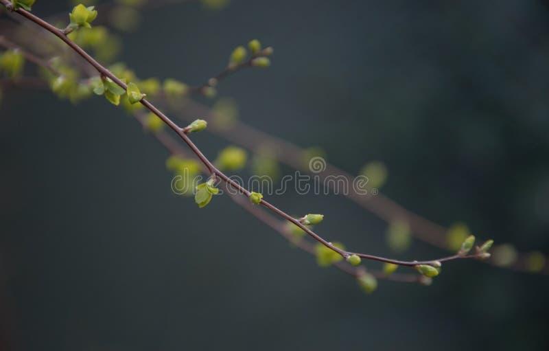 涌现在灌木的枝杈的春天的新的叶子在sping在一个庭院里在奈梅亨荷兰的 免版税图库摄影