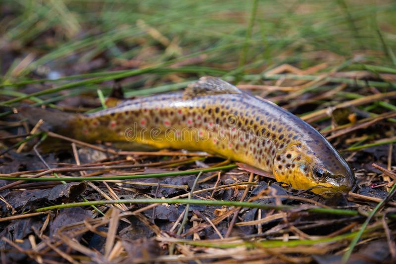 淡水,在植被的野生斑鳟由河 与小点的野生鱼在草 用假蝇钓鱼,转动在河 免版税库存照片