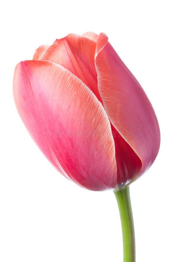淡色粉色唯一花  背景位隔离白色 库存照片