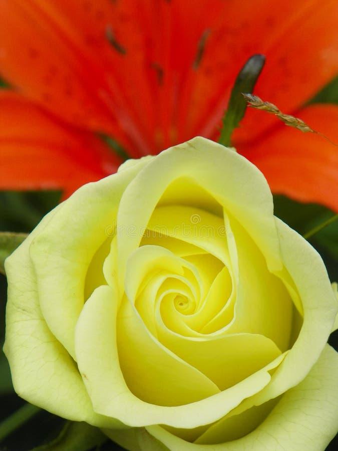 淡黄的罗斯在庭院里打开由橙色百合 免版税库存图片