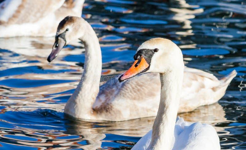 游泳在湖的天鹅家庭  一个小组在大海的美好的天鹅游泳 家庭动物爱和友谊  库存照片