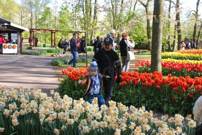 滑稽的矮小的亚洲女孩和她的父亲戏剧在接近黄色和红色美丽的郁金香和黄水仙的水仙的领域  免版税图库摄影