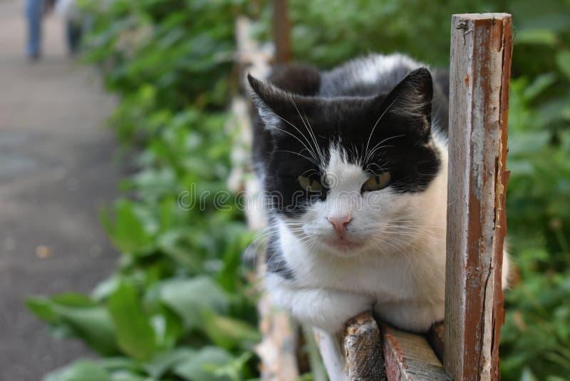 滑稽的黑白猫在老木篱芭说谎和在一夏天上午小心地看某处 免版税库存图片