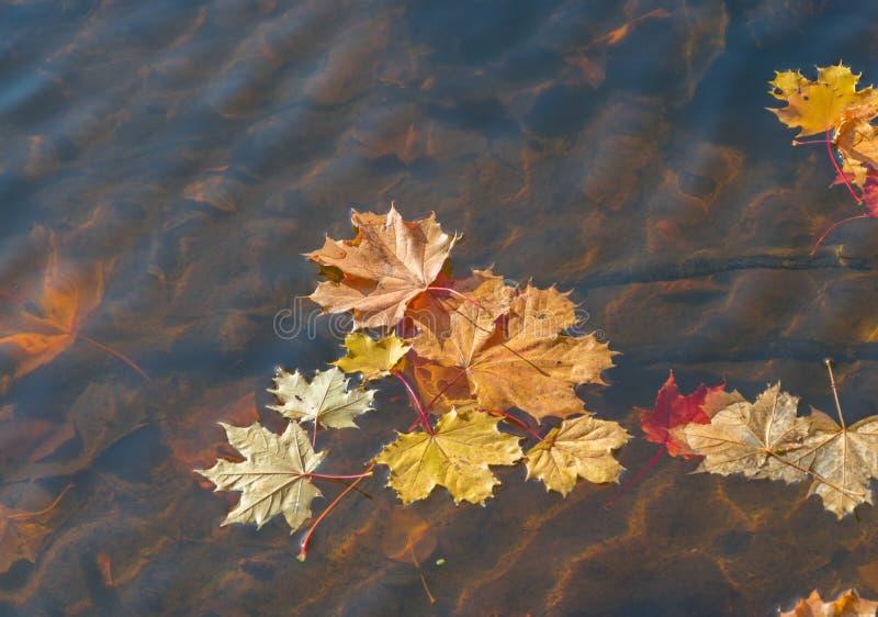 漂浮在河的明亮的金黄枫叶 金黄秋天 免版税图库摄影