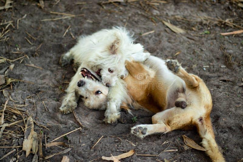 演奏乐趣的两条狗 图库摄影