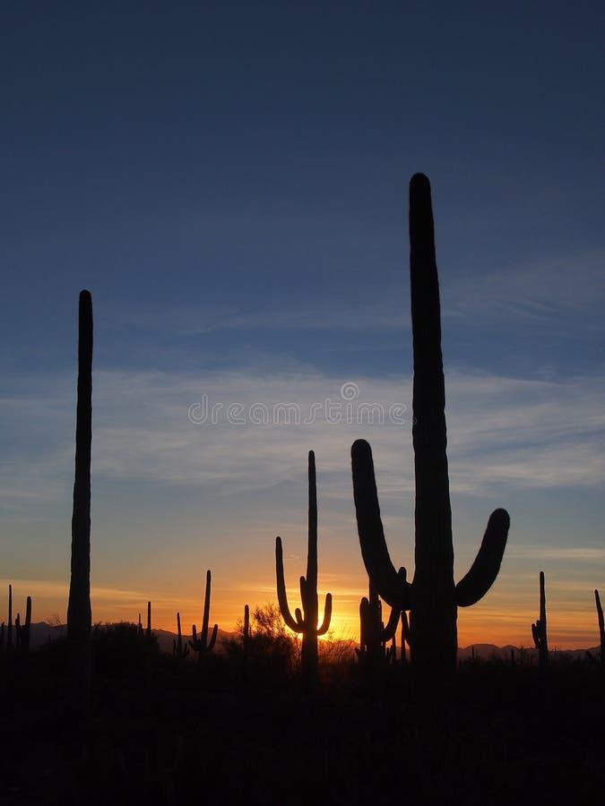 柱仙人掌仙人掌,卡内基gigantea,在日落在巨人柱国家公园 免版税库存照片