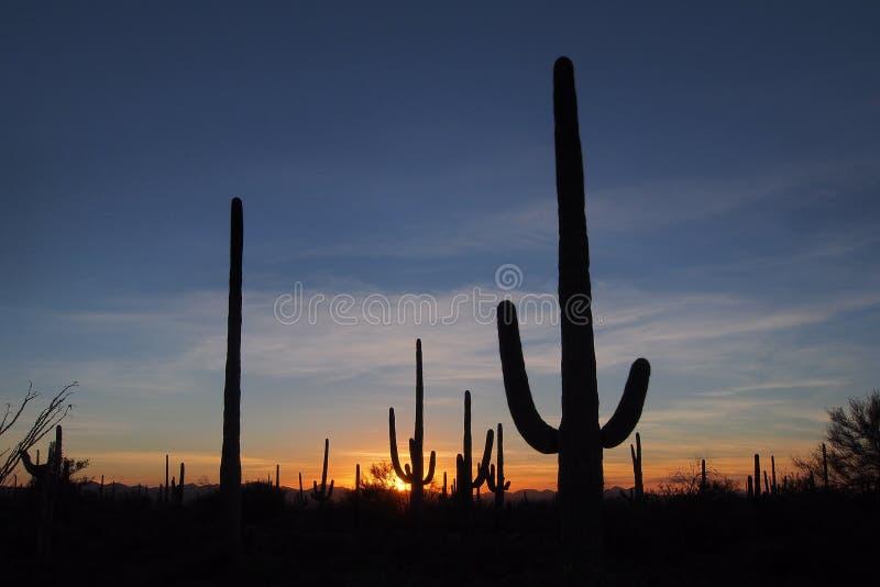 柱仙人掌仙人掌,卡内基gigantea,在日落在巨人柱国家公园 免版税图库摄影
