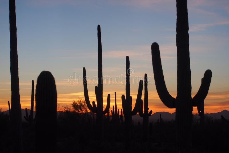 柱仙人掌仙人掌,卡内基gigantea,在日落在巨人柱国家公园 库存照片