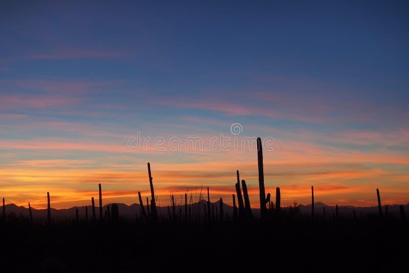 柱仙人掌仙人掌,卡内基gigantea,在日落在巨人柱国家公园 图库摄影