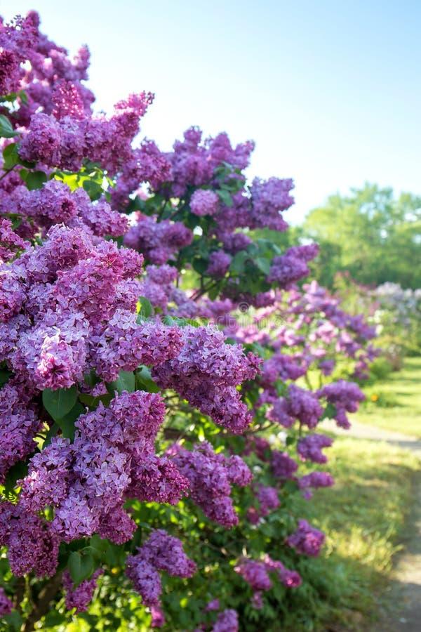 有丁香的淡紫色庭院 免版税库存图片