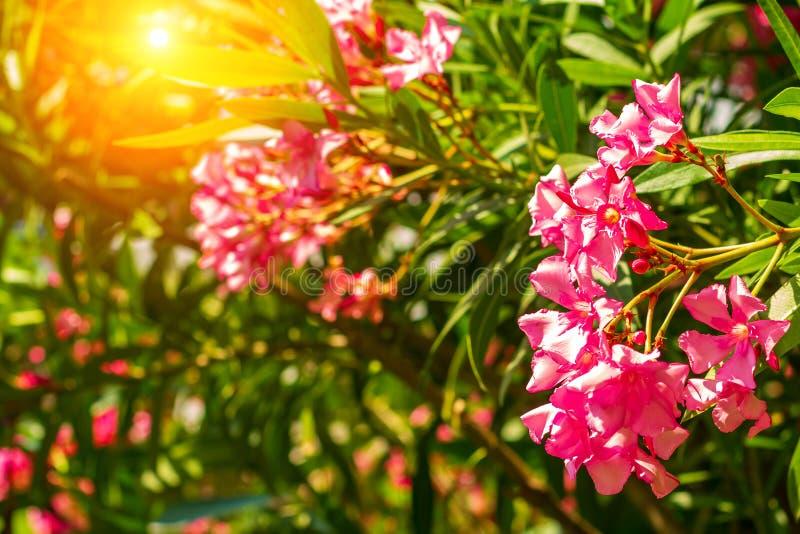 有桃红色花夹竹桃的美丽的室外灌木植物 库存图片