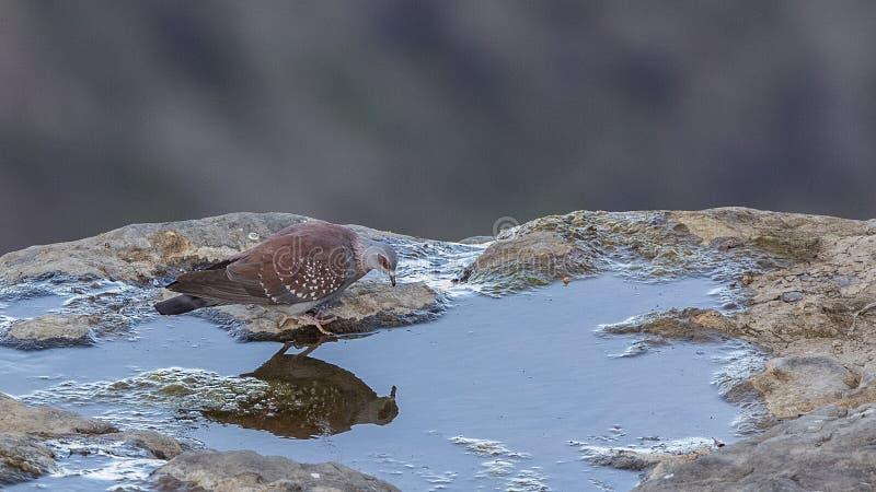 有斑点的鸽子饮用水 库存图片