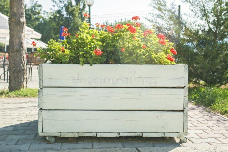有红色大竺葵花的大木罐在室外 有花的街道木罐在室外 库存图片